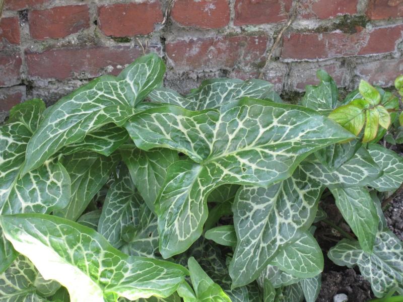 Recherche nom de plante trouv arum italicum for Recherche sur les plantes vertes