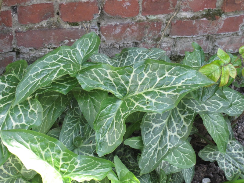 Recherche nom de plante trouv arum italicum for Recherche plante