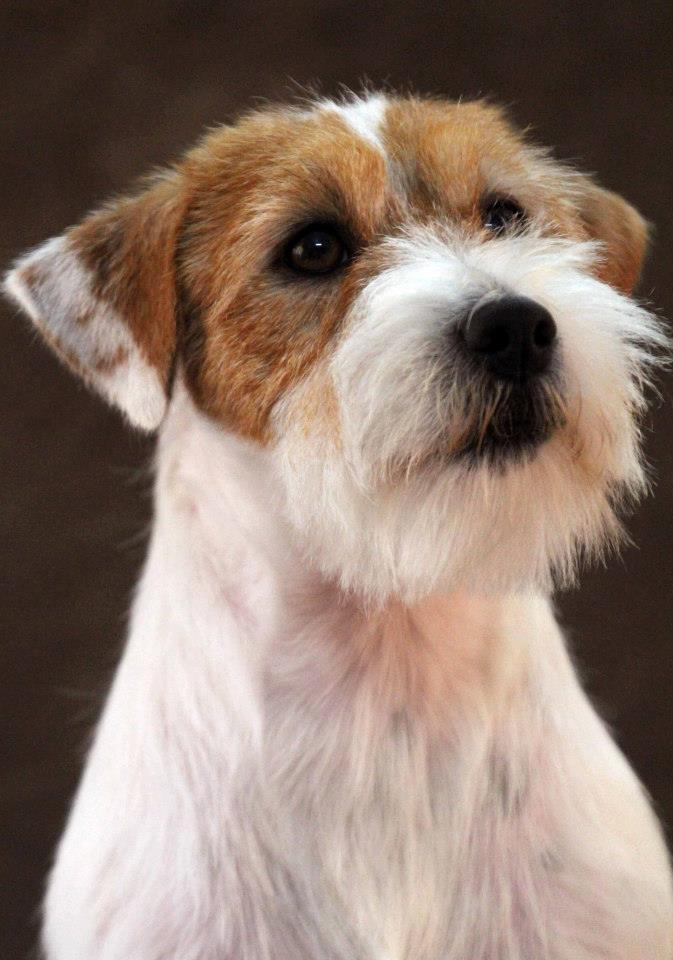 la toelettatura del jack russell terrier a pelo ruvido