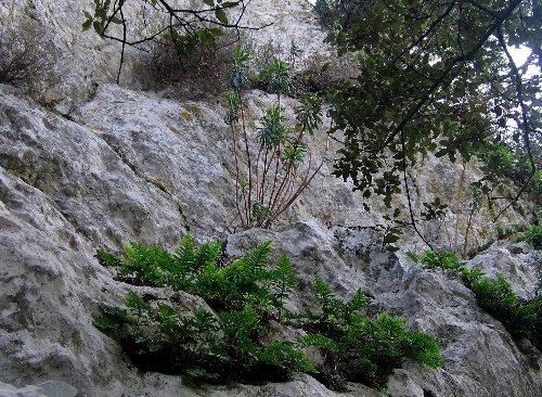 Euphorbia characias for La vie claire la ciotat
