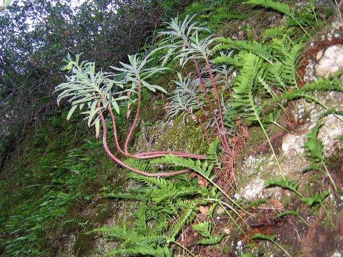 Euphorbia characias page 2 for La vie claire la ciotat