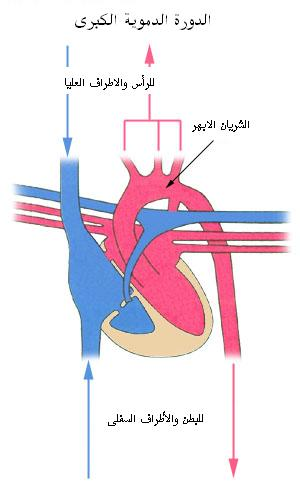 دورة الدم في القلب