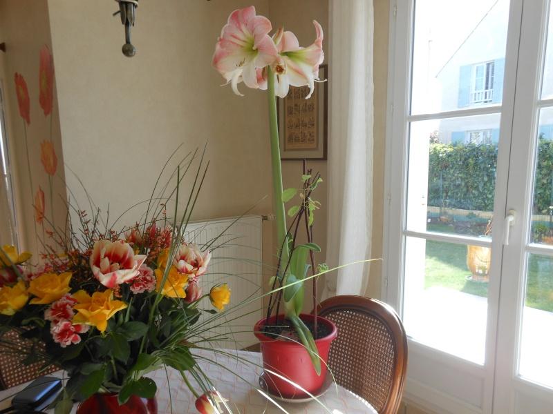 Amaryllis hippeastrum culture entretien floraison page 8 - Entretien orchidee apres floraison ...