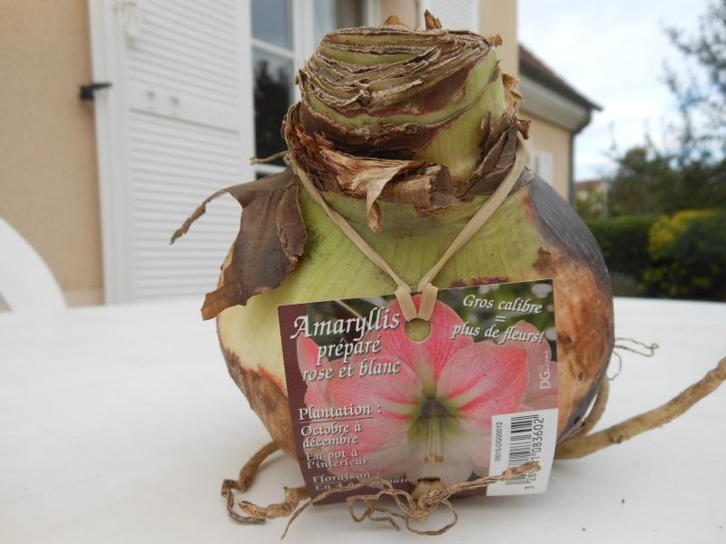 Amaryllis hippeastrum culture entretien floraison for Arrosage des amaryllis
