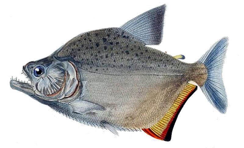 Serrasalmus marginatus