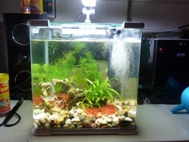 Mes poissons japonais for Poisson aquarium 60l