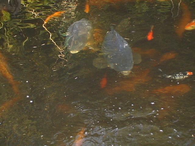 Vente poisson d 39 eau froide for Poisson eau froide