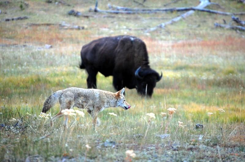 bison_10.jpg