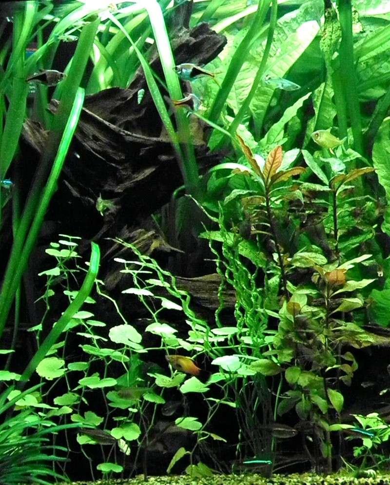 Aquarium avec poisson arlequin