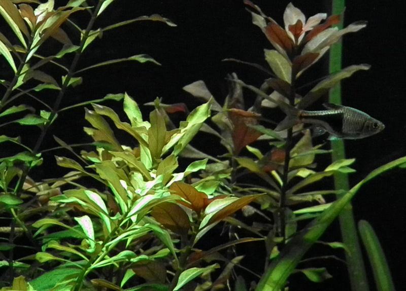 Tétra arlequin et plante