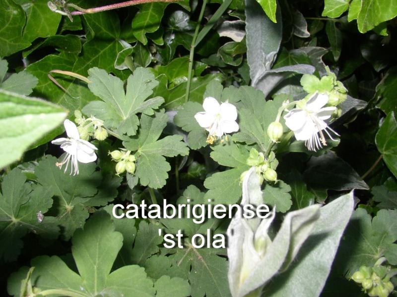 Geranium vivace page 36 - Quand rentrer les geraniums ...