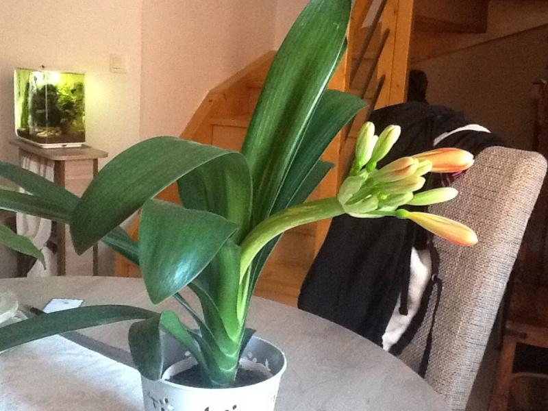 clivia bientot en fleur hampe cass comment la couper. Black Bedroom Furniture Sets. Home Design Ideas