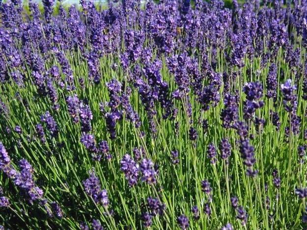 Plantes et insectes - Plante grimpante anti moustique ...