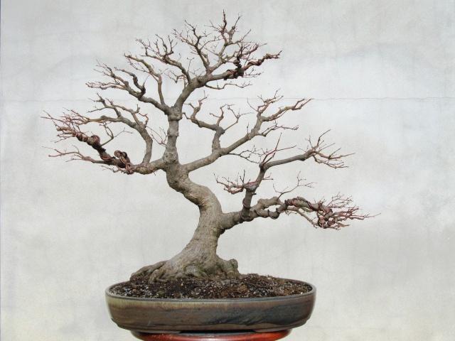 american bonsai at the nc arboretum page 9 rh ibonsaiclub forumotion com Red Dragon Japanese Maple Bloodgood Japanese Maple