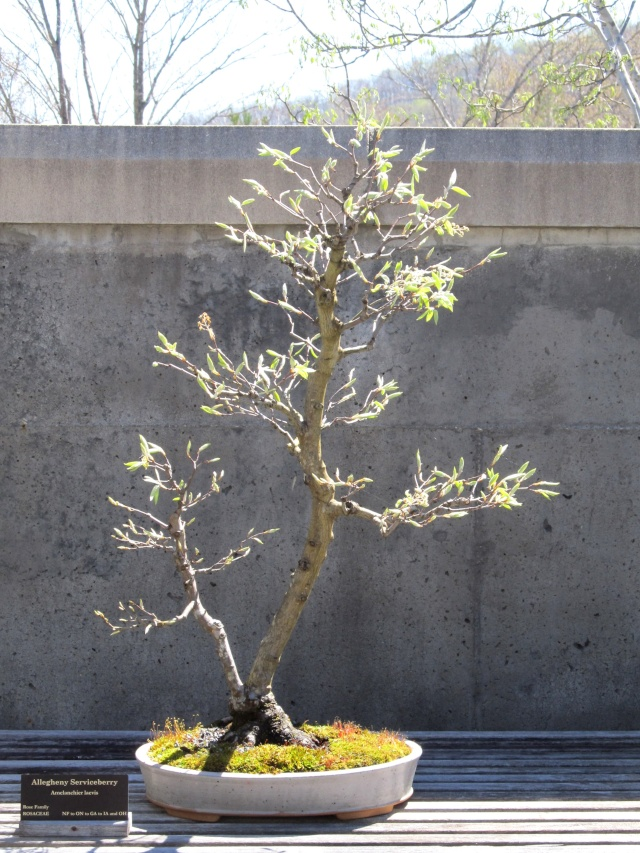 American Bonsai At The Nc Arboretum Page 11