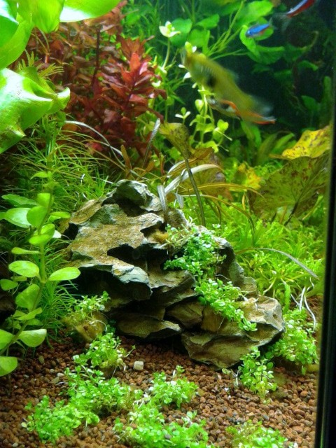 aquarium 54litres plant. Black Bedroom Furniture Sets. Home Design Ideas